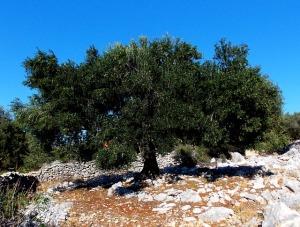 Ein Ölbaum