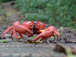 Weihnachtsinsel-Krabbe